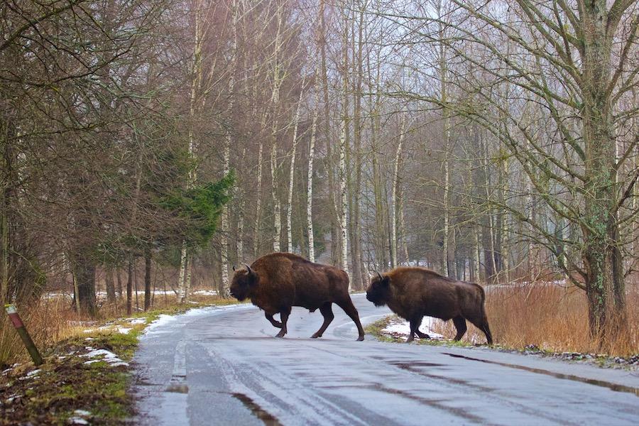 Bison in Poland forest