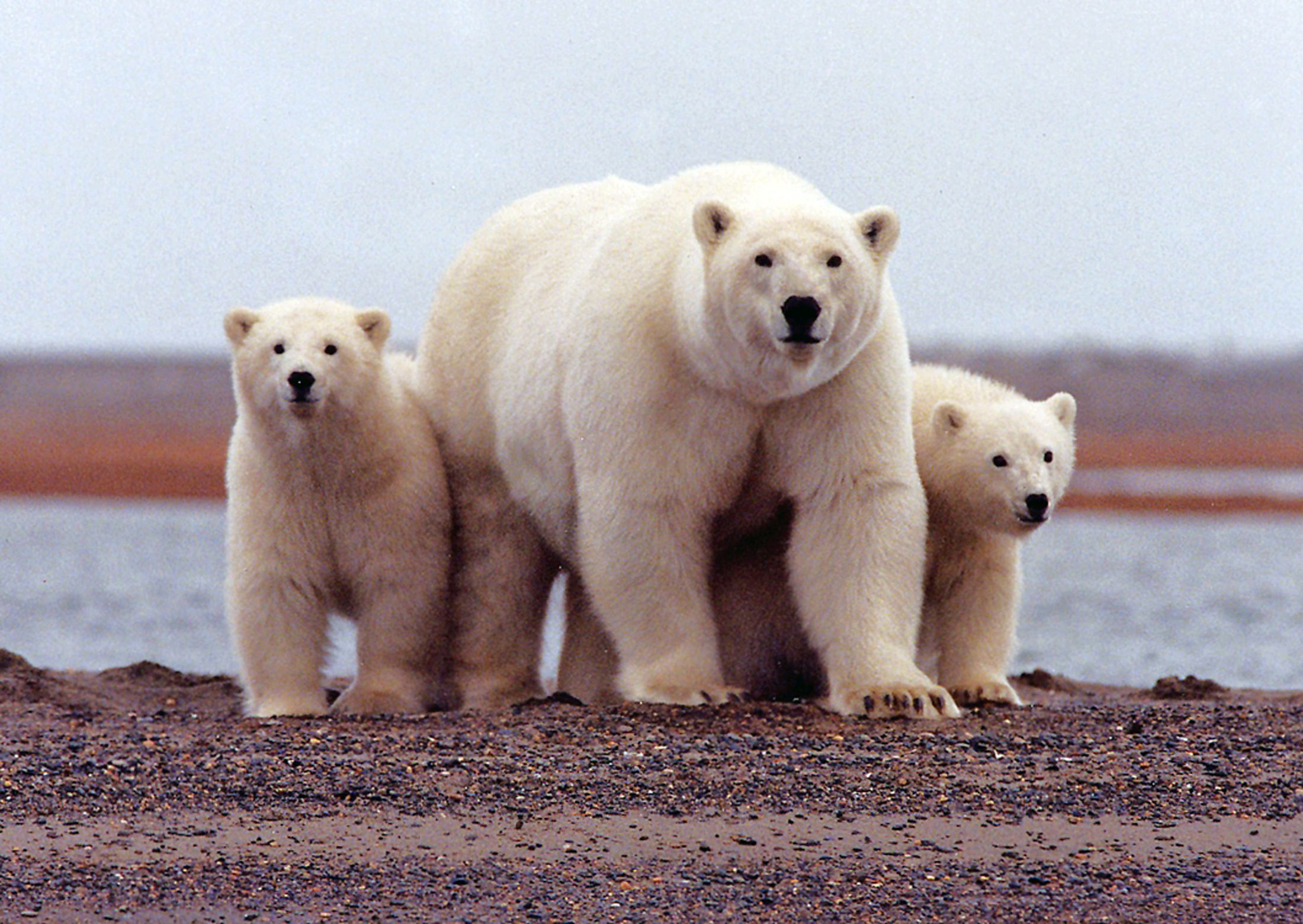 for polar bears melting ice in the arctic means less room to roam