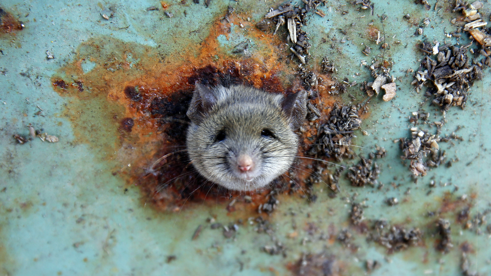 A rat's head rests as it is constricted in an opening in the bottom of a garbage can in the Brooklyn borough of New York City, Oct. 18, 2016.