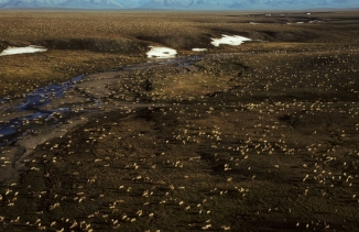 Arctic National Wildlife Refuge caribou aerial