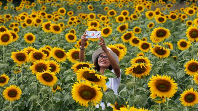A woman in a white hat takes a selfie at a sunflower field north of Bangkok, Thailand.