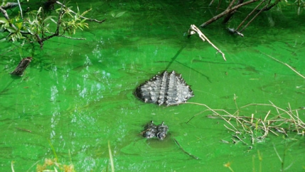 Green algae bloom in Florida
