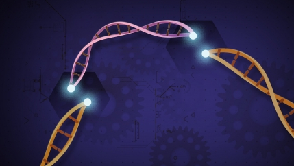 An illustration of small pieces of DNA at precise areas along a DNA strand