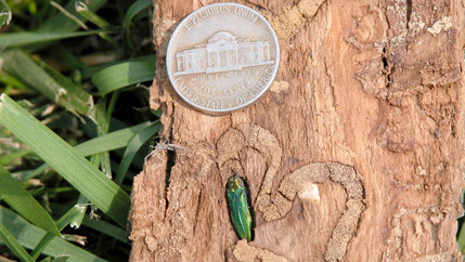 An adult emerald ash borer nestles into a tan-colored tree trunk.