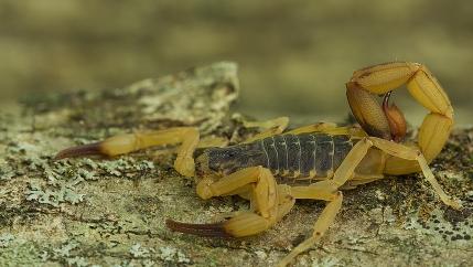 a yellow scorpion