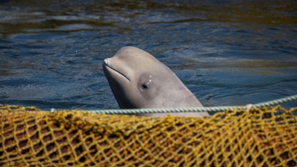 A beluga whale surfaces out of the water near a yellow net
