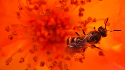 A bee is shown collecting pollen off an bright orange flower in a park in the Bulgaria's capital Sofia.
