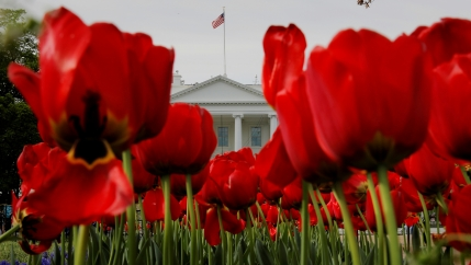red tulips in front of the white house