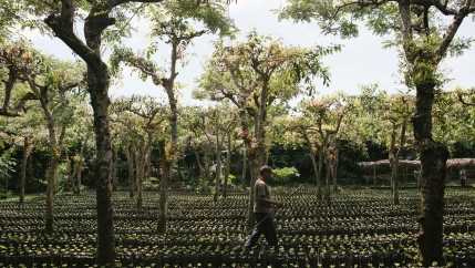 A coffee farmer is shown walking through a nursery with a rake in his hand.