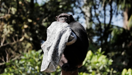 A chimpanzee holds a grey blanket up in a tree.