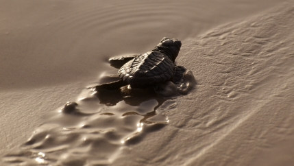 baby turtle heading to sea