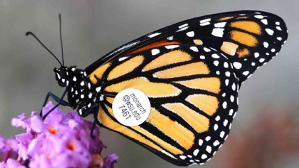Monarch with tag