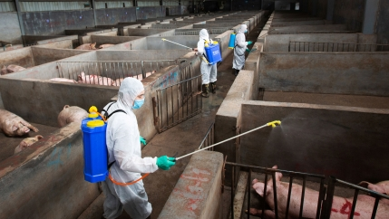 Men in white suits wearing tanks on their backs hold wands over pens with large pigs in them
