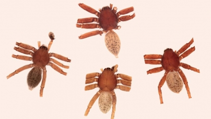 picture of four brown spiders on a white background.