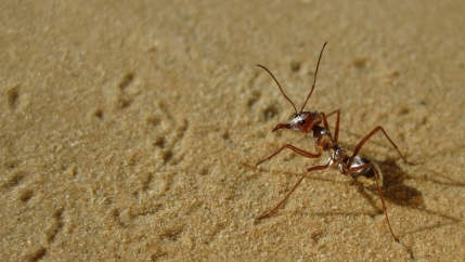An up close image of an ant in sand