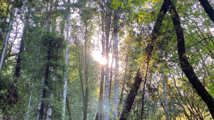 Looking up at the sunshine coming through tree tops in a forest.