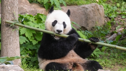 A black and white panda bear holds a bamboo in his mouth