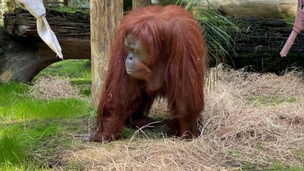 A red-haired orangutan eats grasses