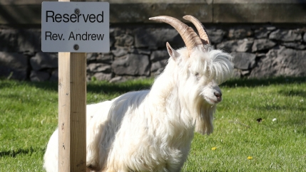A white goat sits next to a sign that says reserved parking.