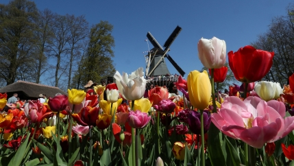 Tulips and a windmill