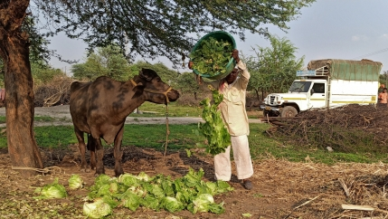 A man dumps lettuce in front of a buffalo.