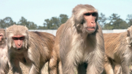 Aged male rhesus macaques monkeys at Tulane University are pictured.