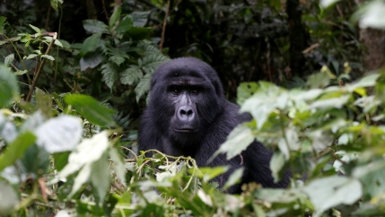 A male mountaingorillafrom the Mukiza group is seen in the forest within theBwindiNational Park near the town of Kisoro, Uganda, March 31, 2018.
