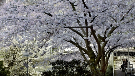 Massive light pink cherry blossoming tree in Vancouver with two people sitting on a park bench underneath it