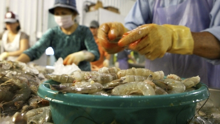 Employees dehead Louisiana white shrimp at C.F. Gollott & Son Seafood in D'Iberville, Mississippi, June 3, 2010.