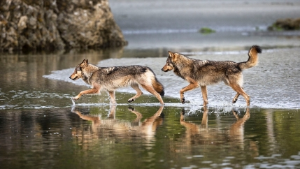 Coastal wolves making their way along the beach in British Columbia.