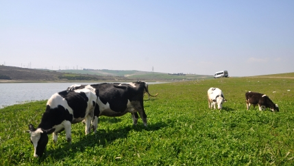 A few cows graze on green grass along a river in daylight hours.