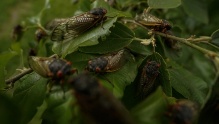 Adult cicadas cover a plant, Monday, May 17, 2021, at Woodend Sanctuary and Mansion, in Chevy Chase, Maryland.