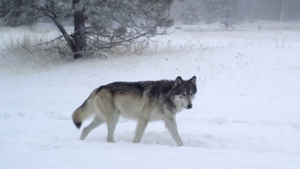 A record number of wolves are roaming the forests and fields of Oregon, 20 years after the species returned to the state.
