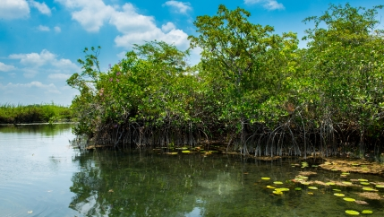 A stand of red mangroves in the calm, calcium-rich, fresh waters of the San Pedro Mártir River, Tabasco, Mexico.