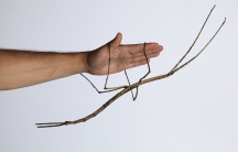 """An adult female """"Ctenomorpha gargantua"""" from the first captive-reared generation, measuring 56.5 cm in total length."""