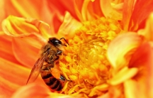 A honeybee takes nectar from a flower in Tanzania, while pollen attaches to its body.
