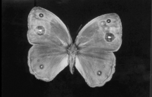 A mechanically modified butterfly