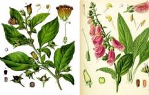 Drawings of Atropa belladonna and Digitalis purpurea. Via Köhler's Medicinal Plants/Wikimedia