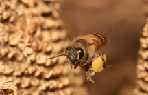 A European honey bee carries pollen back to its hive.