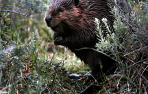 An image of a Patagonia beaver taken from a video by Motherboard.