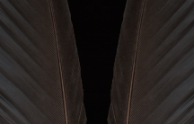 Photo of a bald eagle's wing