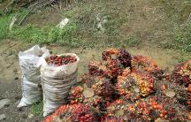 Elaeis guineensis — an oil palm tree