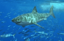 A Great White Shark was killed just months after being tagged. Now scientists want to know how.
