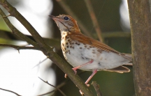 A wood thrush, photographed in Crystal Lake, Illinois.