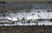 Whooping cranes at Wheeler