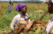 A woman wearing a purple scarf stands in a field holding maize stems