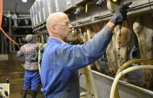 Workers milk cows at Armstrong Manor Farm in Caledon, Ontario. Computers measure how much milk each cow produces, then shut off the milking process when the flow decreases below a certain amount.