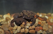Romeo and Juliet, two Sehuencas frogs