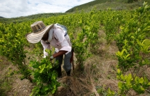 A farmer cleans a coca crop in Cauca, Colombia, on Jan. 27, 2017.