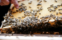 Bees in a bee hive